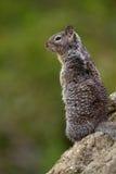 California Ground Squirrel, Otospermophilus beecheyi Royalty Free Stock Photography