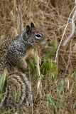 California Ground Squirrel, Otospermophilus beecheyi. Close-up, full-body profile view of a California Ground Squirrel Stock Image