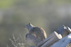 California ground squirrel Otospermophilus beecheyi Close Up. California ground squirrel Otospermophilus beecheyi sitting on a log keeping watch Stock Image