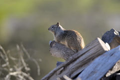 California ground squirrel Otospermophilus beecheyi Close Up. California ground squirrel Otospermophilus beecheyi sitting on a log keeping watch Royalty Free Stock Photo