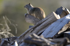 California ground squirrel Otospermophilus beecheyi Close Up. California ground squirrel Otospermophilus beecheyi sitting on a log keeping watch Stock Photo