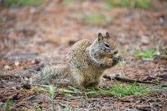 California Ground Squirrel, Otospermophilus beecheyi Stock Photography