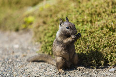 California ground squirrel (Otospermophilus beecheyi). Is gnawing wild flowers Royalty Free Stock Photo