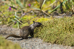 California ground squirrel (Otospermophilus beecheyi). Is gnawing wild flowers Stock Photography