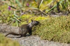 California ground squirrel (Otospermophilus beecheyi) Stock Photography