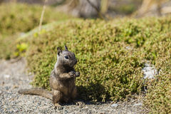 California ground squirrel (Otospermophilus beecheyi). Is gnawing wild flowers Royalty Free Stock Photos