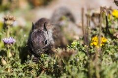 California ground squirrel (Otospermophilus beecheyi) Royalty Free Stock Image