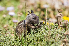 California ground squirrel (Otospermophilus beecheyi). Is gnawing wild flowers Stock Image