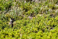California ground squirrel (Otospermophilus beecheyi) Stock Photos