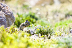 California ground squirrel (Otospermophilus beecheyi). Is gnawing wild flowers Stock Photos
