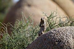 California Ground Squirrel, Otospermophilus beecheyi Royalty Free Stock Photos