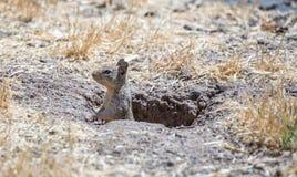 California Ground Squirrel, Otospermophilus beecheyi, peeking Stock Photo