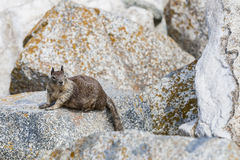 California ground squirrel (Otospermophilus beecheyi) at Seal Ro. A solitary California ground squirrel (Otospermophilus beecheyi) keeps an Royalty Free Stock Images