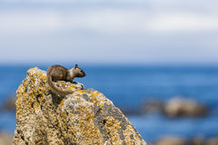California ground squirrel (Otospermophilus beecheyi). A solitary California ground squirrel (Otospermophilus beecheyi) keeps an eye out for Royalty Free Stock Photos