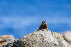 California ground squirrel (Otospermophilus beecheyi). A solitary California ground squirrel (Otospermophilus beecheyi) keeps an eye out for something Royalty Free Stock Image