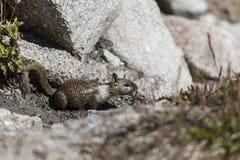 California ground squirrel (Otospermophilus beecheyi) Stock Images