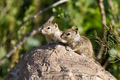 California Ground Squirrel, Otospermophilus beecheyi Royalty Free Stock Photos