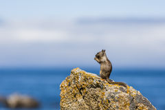 California ground squirrel (Otospermophilus beecheyi). A California ground squirrel (Otospermophilus beecheyi) is watching the great Ocean on a small rock Royalty Free Stock Photography