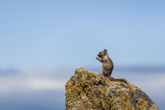 California ground squirrel (Otospermophilus beecheyi). A California ground squirrel (Otospermophilus beecheyi) is watching the great Ocean on Stock Photography