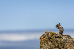 California ground squirrel (Otospermophilus beecheyi). A California ground squirrel (Otospermophilus beecheyi) is watching the great Ocean on a small rock Royalty Free Stock Photo