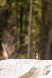 California ground squirrel Stock Photography