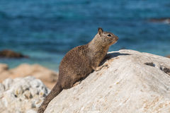California Ground Squirrel on Rock Royalty Free Stock Photo