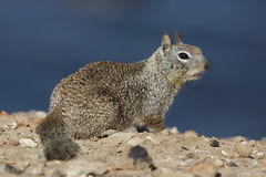California Ground Squirrel - San Diego, California Royalty Free Stock Photo