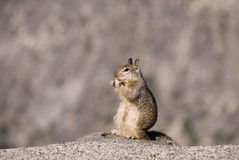 California Ground Squirrel stand-up and eating a peanut Royalty Free Stock Photo