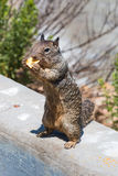 California Ground Squirrel Standing on Wall Eating Stock Photography