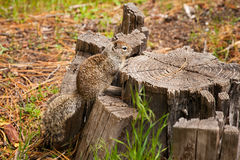 California Ground Squirrel on tree stump in Yosemite National Park, outdoors Stock Images