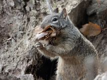 Free California Ground Squirrel With Mouth Full Of Leaves Stock Photography - 162971702