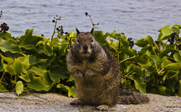 California grounds squirrel in Pacific Grove Stock Images