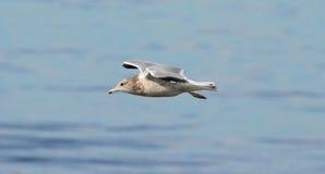 California Gull Stock Images