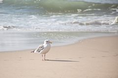 California Gull Royalty Free Stock Photos