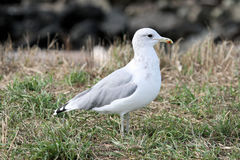 California gull 2 Royalty Free Stock Images