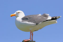 California Gull Royalty Free Stock Photo