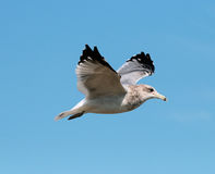 California gull 5 Stock Photos
