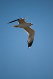 California Gull. In flight on blue sky Royalty Free Stock Photo