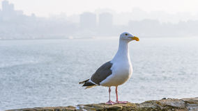 California Gull on Alcatraz Stock Photo