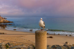 California Gull Along the Coast Royalty Free Stock Photos