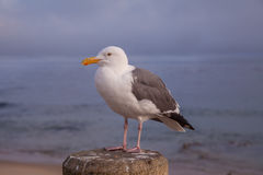 California Gull Along the Pacific Coast Stock Photography