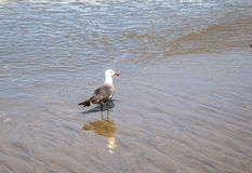 California gull at the beach Royalty Free Stock Image
