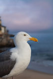 California Gull Close up Royalty Free Stock Photos