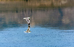 California gull flying over the beautiful Mono Lake Royalty Free Stock Image