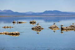 California gull flying over the beautiful Mono Lake Stock Image