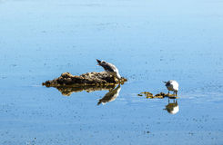 California gull flying over the beautiful Mono Lake Stock Images