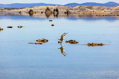 California gull flying over the beautiful Mono Lake Royalty Free Stock Photos