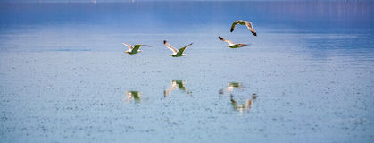 California gull flying over Mono Lake Royalty Free Stock Photos