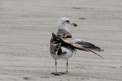 The California Gull is injured at the Beach in Malibu Royalty Free Stock Photos