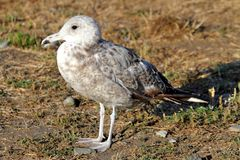 California Gull (Larus californicus). Standing near the Pacific Ocean Royalty Free Stock Photography